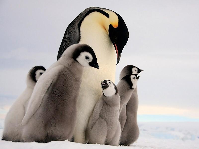 Детеныши Императорского пингвина
