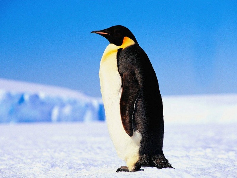 Смотрящий пингвин
