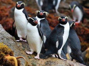 пингвин был объектом промышленной ловли
