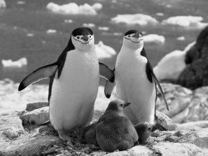 Семейка пингвинов