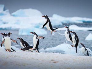 Как пингвин из воды выпрыгивает