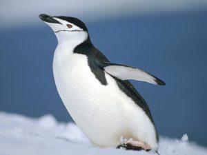 Крылья пингвина