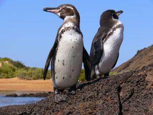 Такие разные пингвины