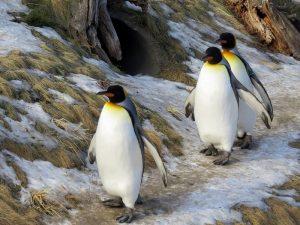 Пингвинья походка