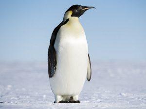 Королевский пингвин сэр Нильс Олав