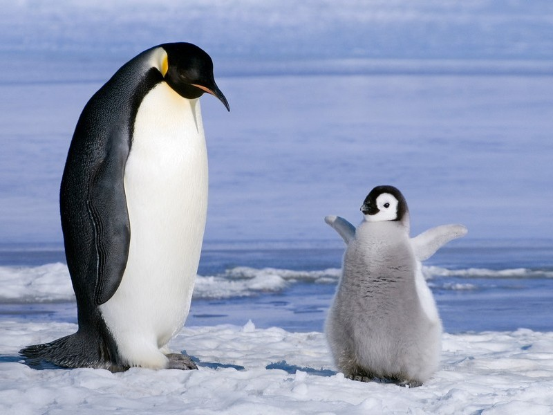 Птенец Императорского пингвина