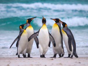 Стайка пингвинов