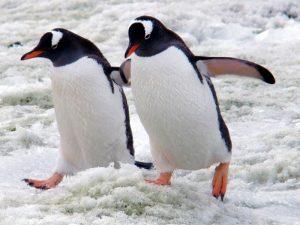 Парочка пингвинят