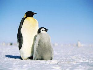 Пингвиньи заботы