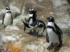 Пингвин попрошайка
