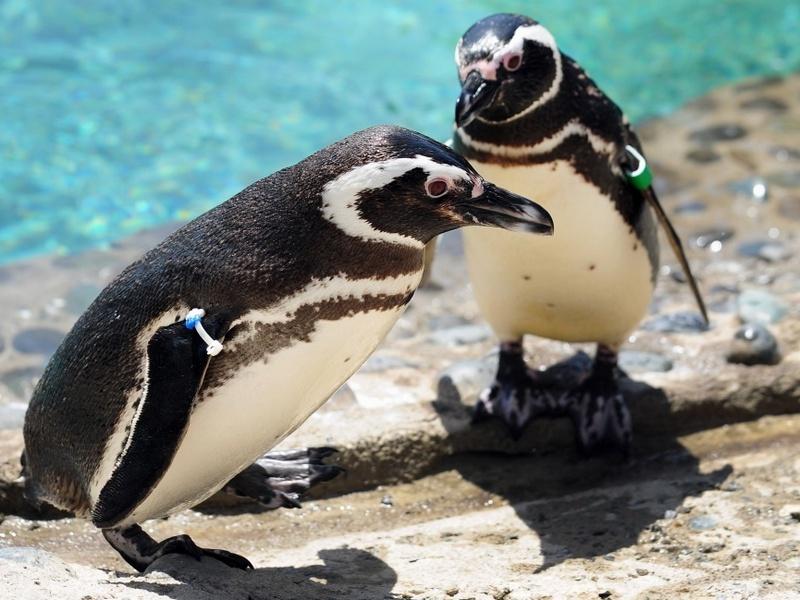 Два пингвинёнка