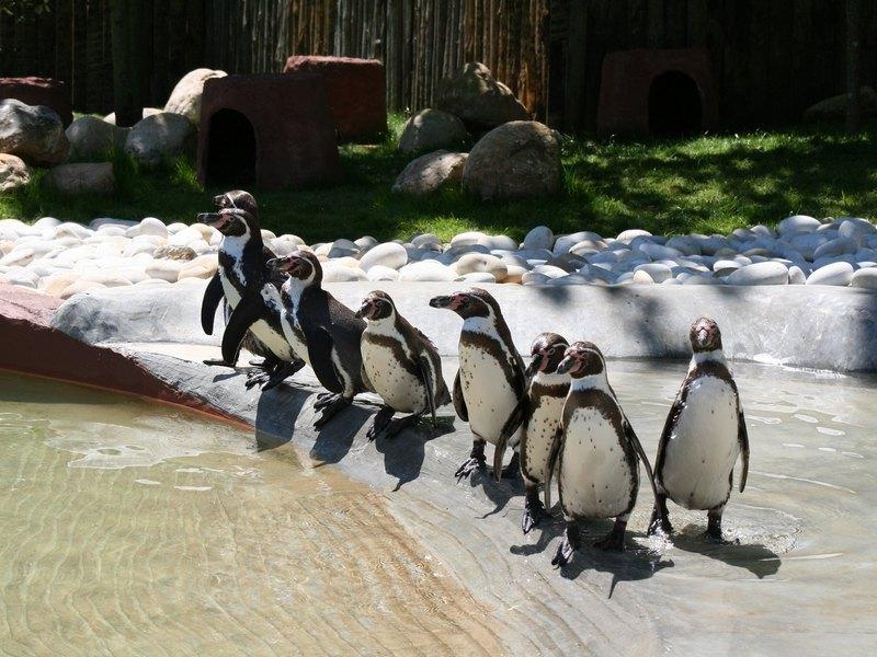 Пингвины в Бразильском зоопарке