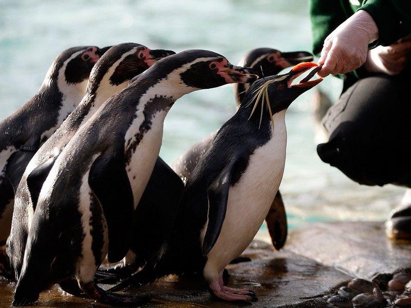 Так кормят пингвинов в Лондонском зоопарке