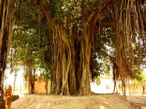Дерево баньян на Вануату