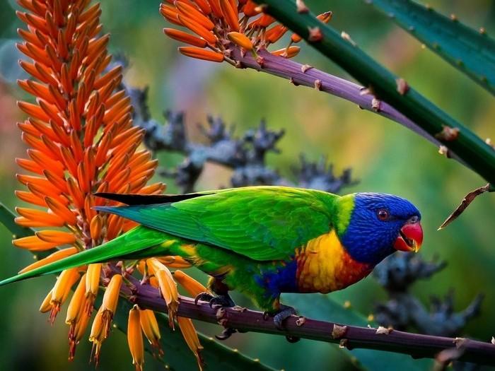 Многоцветный лорикет