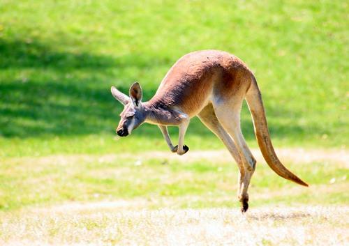 Как выглядит кенгуру