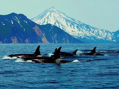 Касатка-или-косатка-Это-кит-или-дельфин-2