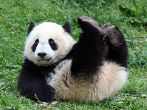 фото картинки панда