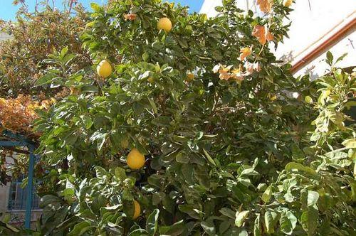 памела фрукт польза для похудения