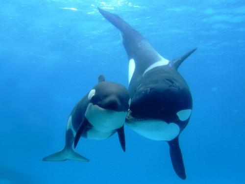 Касатка-или-косатка-Это-кит-или-дельфин-3