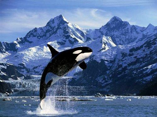 Касатка-или-косатка-Это-кит-или-дельфин-9