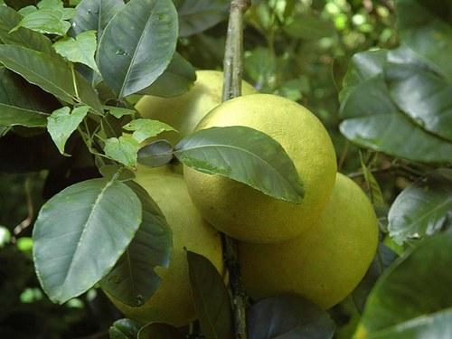 памело фрукт