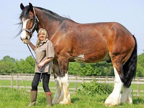лошади тяжеловесы фото