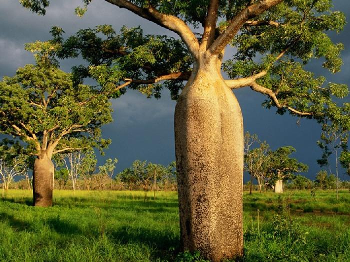 Где растут баобабы?