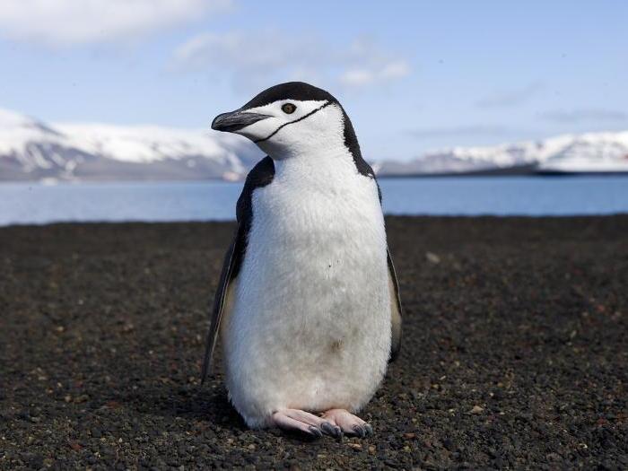 Ан�а�к�и�е�кий пингвин
