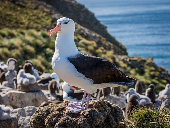 Чернобровый альбатрос