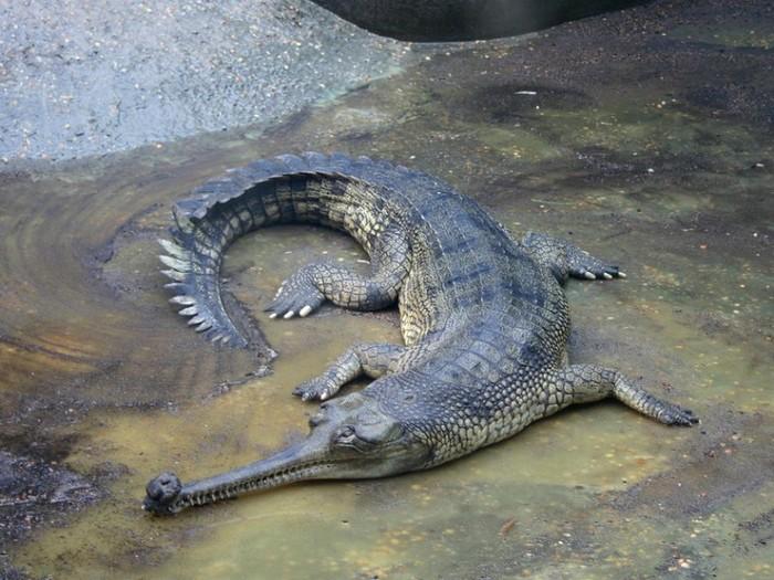 своеобразный крокодил