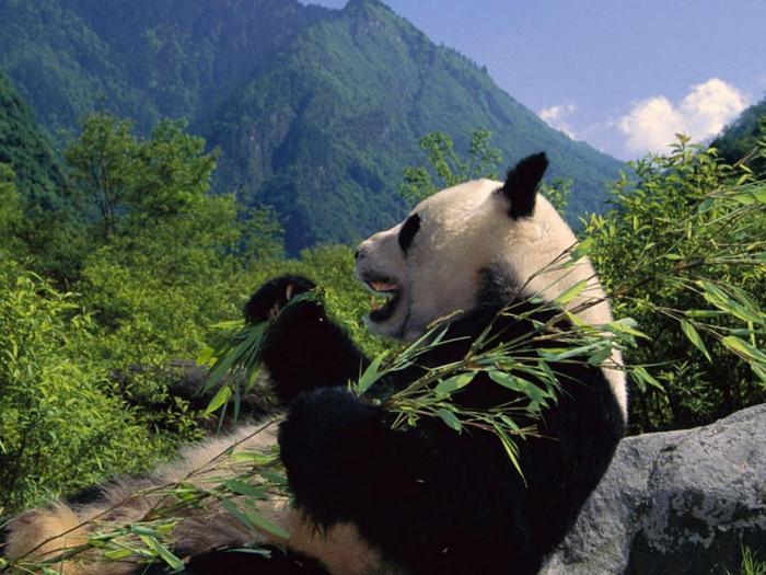 Панды в горах