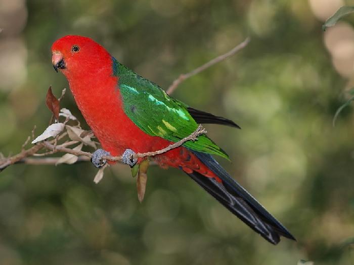 Королевский попугай