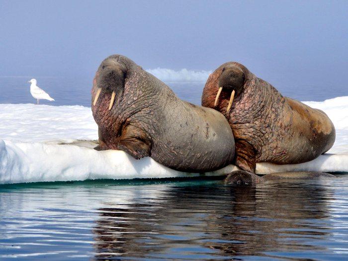 моржи на груманте