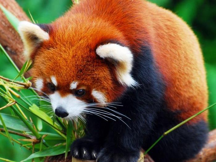 Неторопливая красная панда