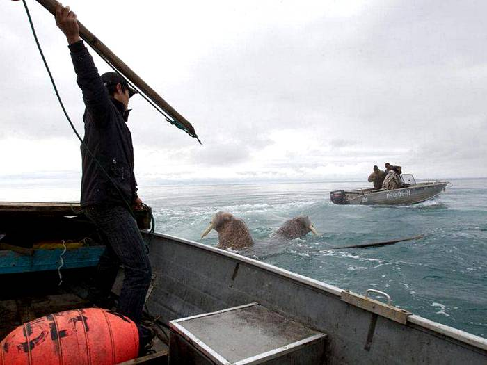 охота на моржа
