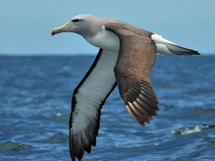Сероголовый альбатрос