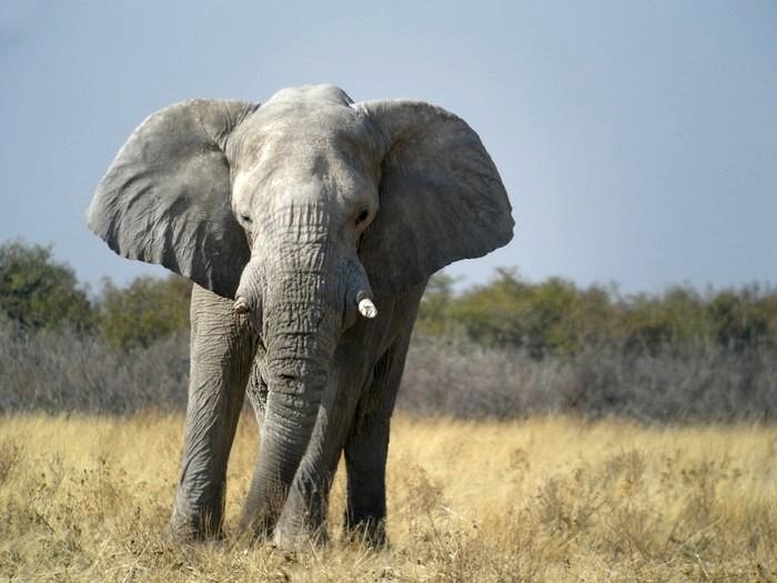 Саванный слон (Loxodonta africana) фото