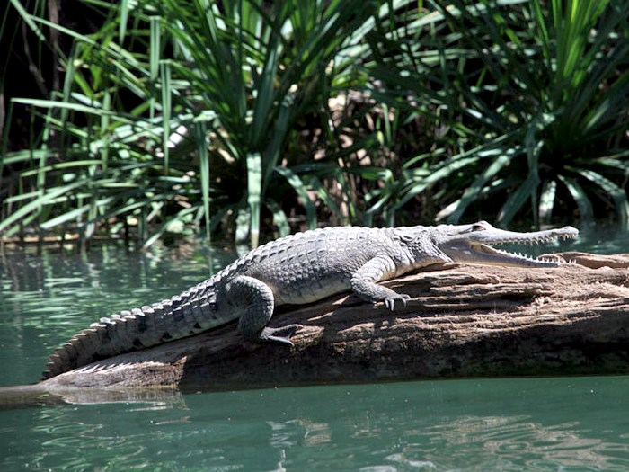 Узкорылый крокодил